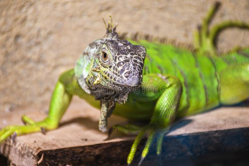 Lézard vert d'iguane en captivité à l'intérieur de zoo photographie stock libre de droits