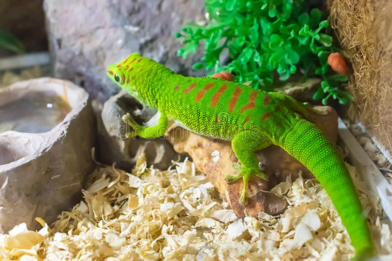 Lézard vert dans l'aquarium avec la sciure dans le zoo photographie stock libre de droits