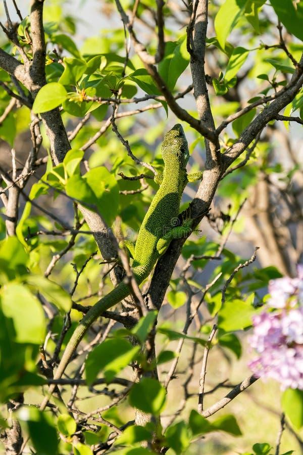 Lézard vert européen camouflé sur le bois image libre de droits