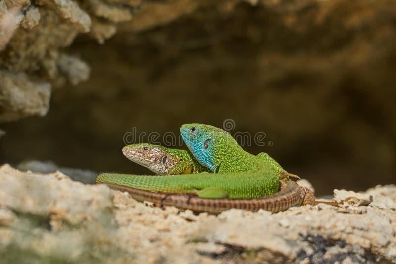 Lézard vert ou viridis européens de Lacerta masculins et femelles images libres de droits