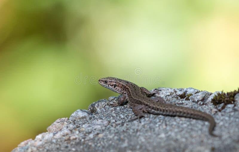 Lézard vivipare, vivipara de Zootoca, se reposant sur une roche photos libres de droits