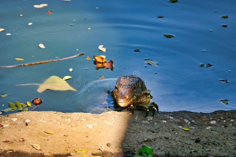 Lézards de moniteur dans le sauvage à Bangkok photo libre de droits