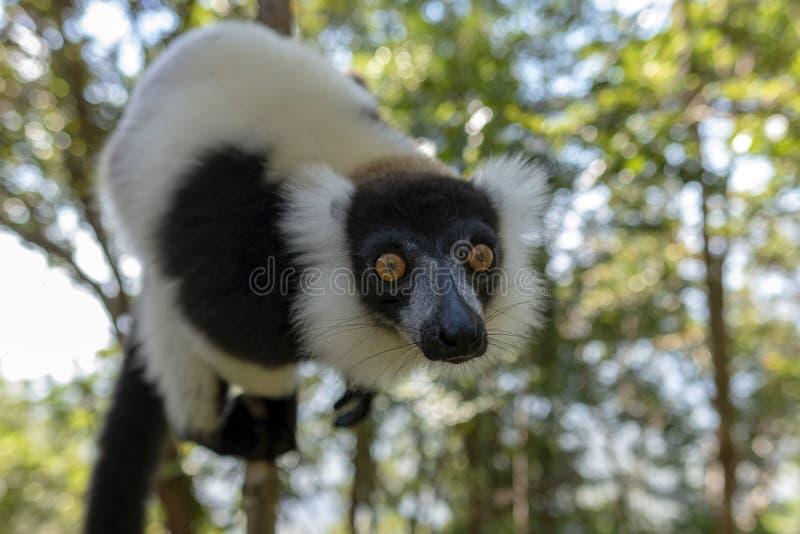 Lêmur-rachado, preto-e-branco, Varecia Variegata Endemic Madagascar imagens de stock royalty free