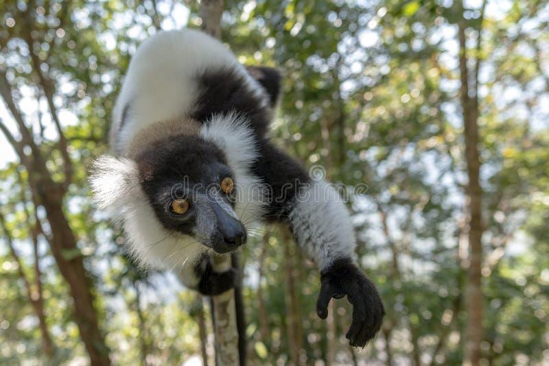 Lêmur-rachado, preto-e-branco, Varecia Variegata Endemic Madagascar foto de stock royalty free