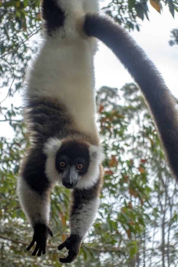 Lêmur-rachado, preto-e-branco, Varecia Variegata Endemic Madagascar imagem de stock