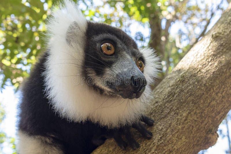 Lêmur-rachado, preto-e-branco, Varecia Variegata Endemic Madagascar foto de stock