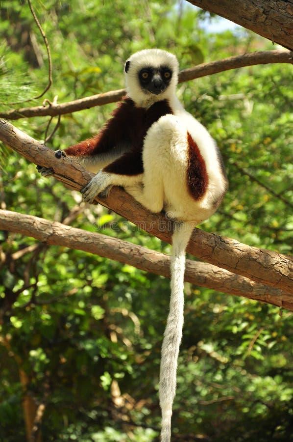 Lêmure de Madagáscar que pendura em uma árvore imagem de stock royalty free