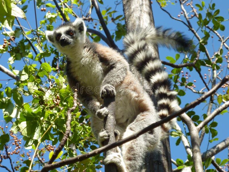 Lêmure em Madagáscar, parque do isalo fotografia de stock royalty free