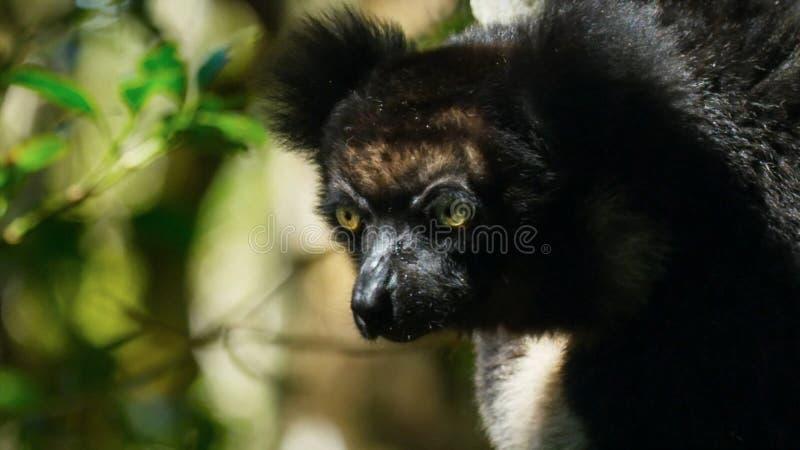 Lêmure endêmico do indri no habitat natural igualmente chamou o babakoto, é os lêmures os maiores de Madagáscar imagem de stock