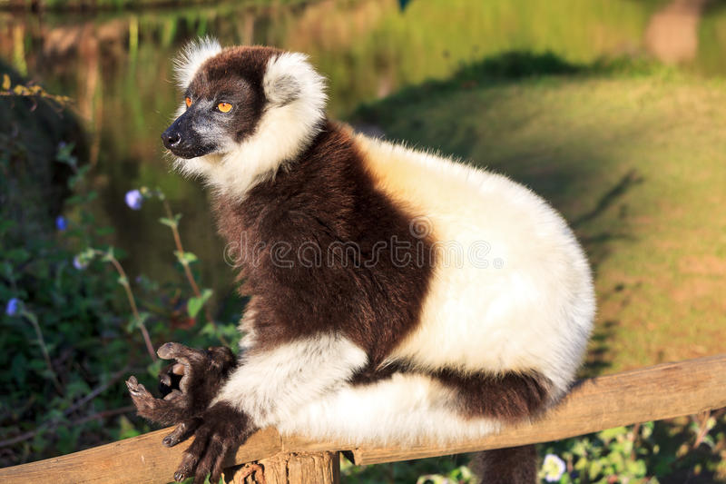 Lêmure Madagáscar de Varecia fotos de stock royalty free