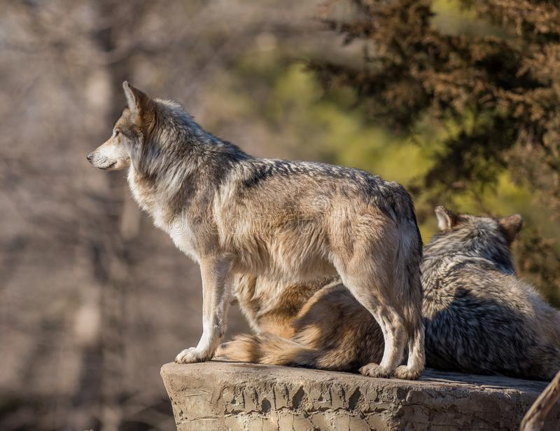Líder de la manada de lobos que busca la presa en el parque zoológico de Brookfield imagenes de archivo