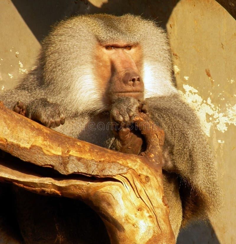Líder del paquete del babuino fotografía de archivo