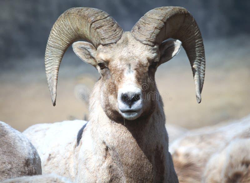 Líder dos carneiros de Bighorn fotos de stock