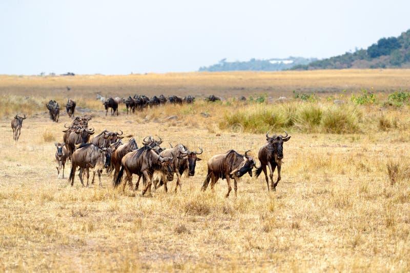 Línea de ñu que corre en África foto de archivo