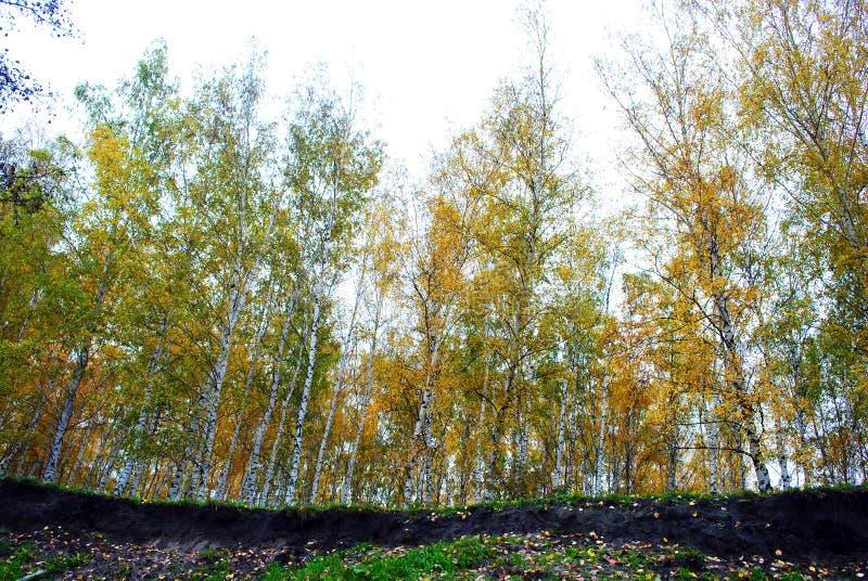 Línea de bosque de los abedules amarillos al borde del barranco, visión desde la tierra foto de archivo