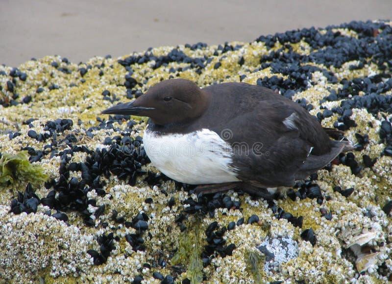 Línea de la playa Murre pájaro-común imagenes de archivo