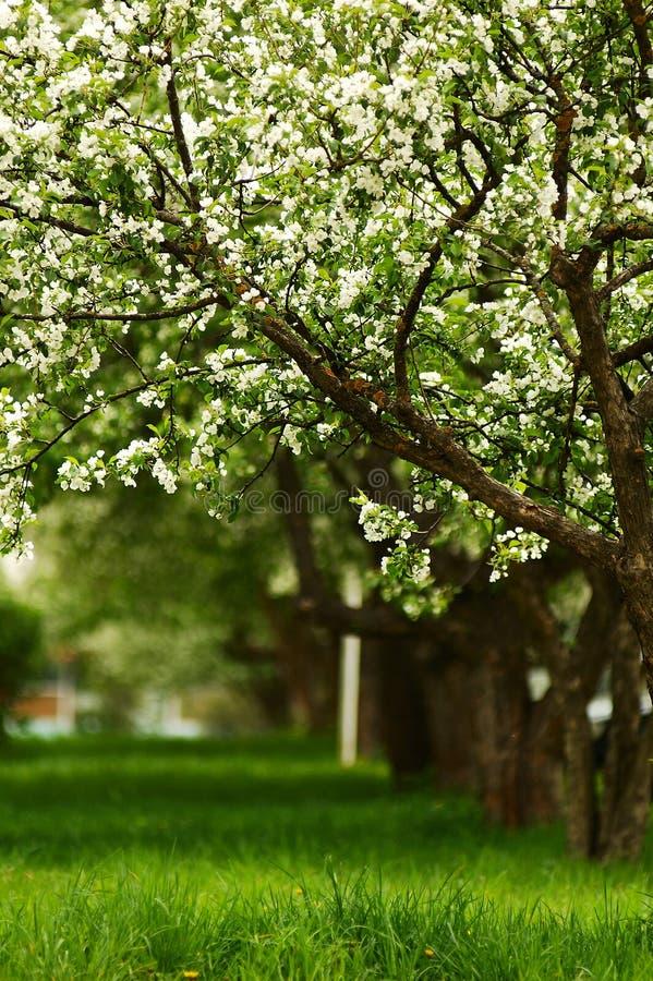 Línea de manzanos florecientes imagen de archivo libre de regalías
