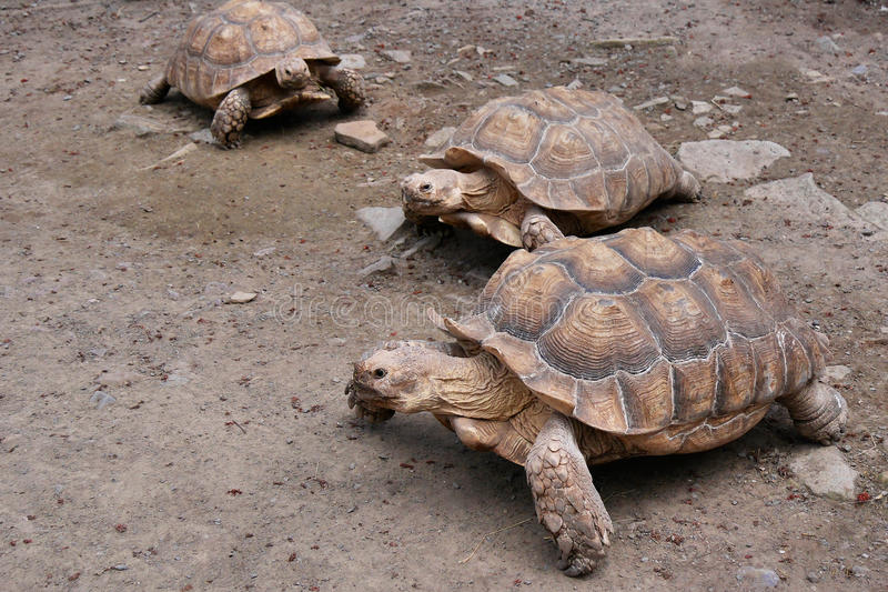 Línea de tortugas del estímulo-Thighed fotografía de archivo