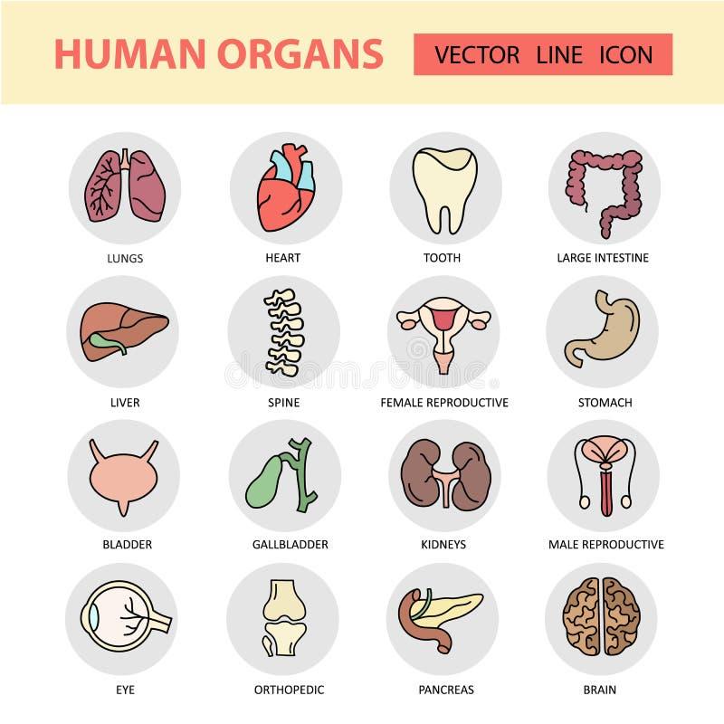 Línea fina iconos del color moderno en los órganos internos humanos de una medicina del tema stock de ilustración