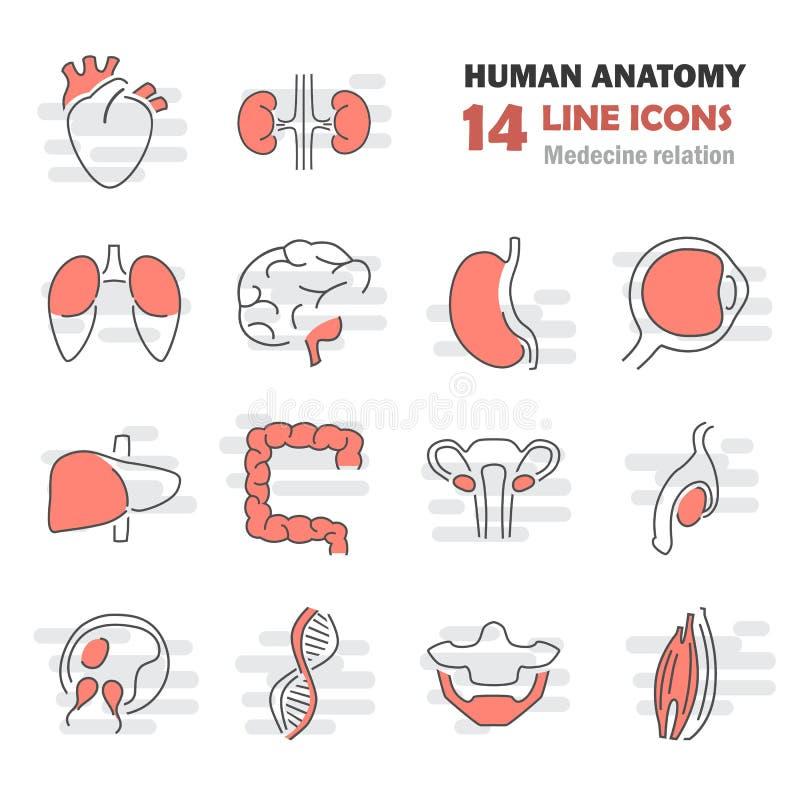 Línea Humana Iconos De La Anatomía Fijados Ilustración del Vector ...