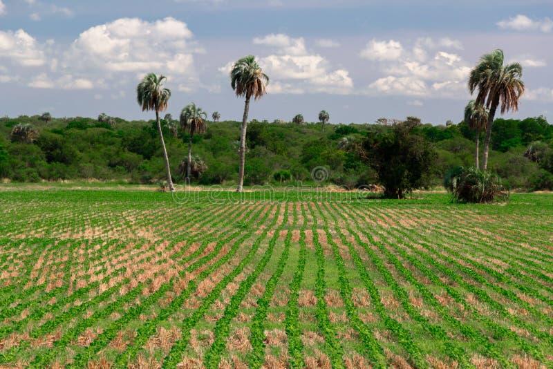 Líneas de cosecha verde orgánica en campo y las altas palmeras imágenes de archivo libres de regalías