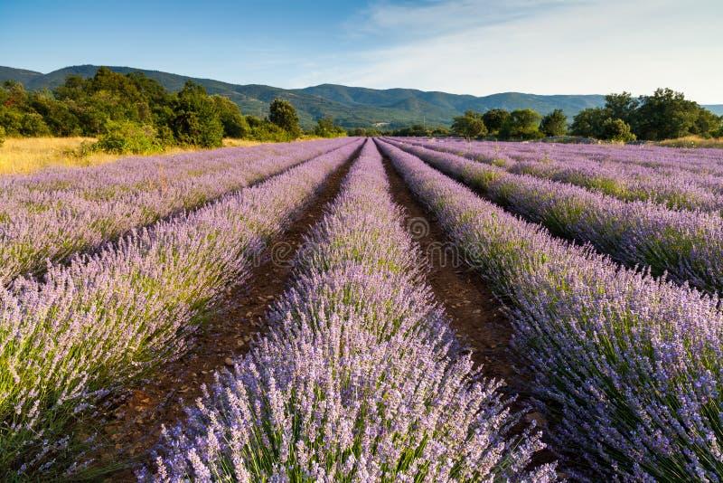 Líneas de lavanda cerca de Saignon, Provence, Fran foto de archivo libre de regalías