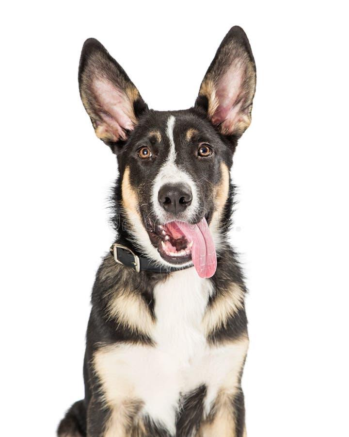 Língua bonito do cachorrinho do close up que pendura para fora foto de stock