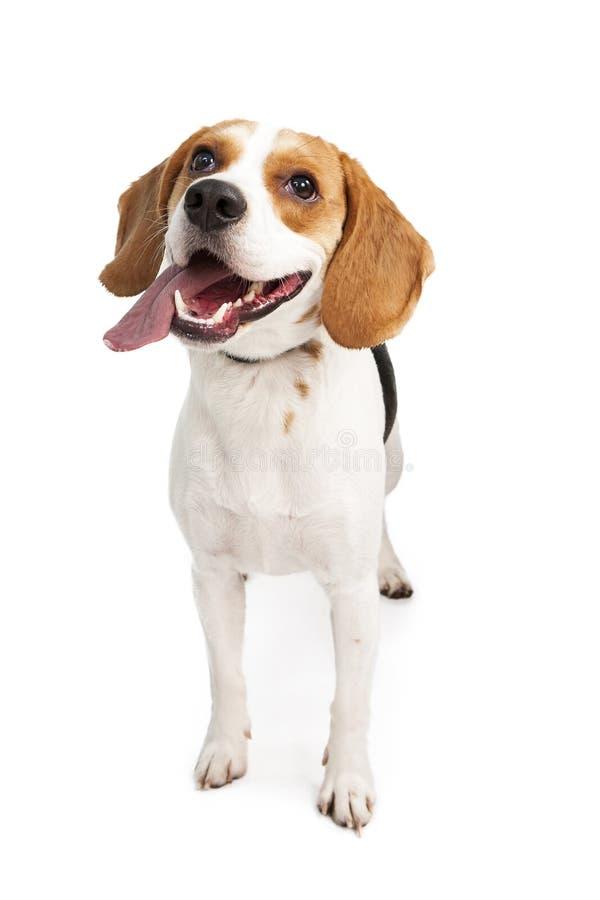 Língua de cão nova feliz do lebreiro para fora fotos de stock royalty free