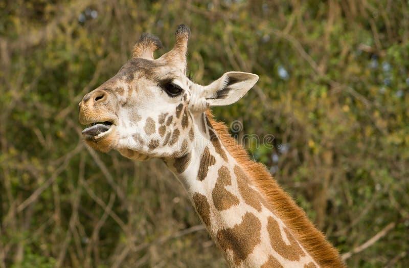Língua do girafa fotografia de stock royalty free