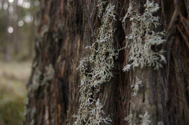 líquene branco invernal que cresce no tronco descascado de uma árvore nativa fotos de stock royalty free