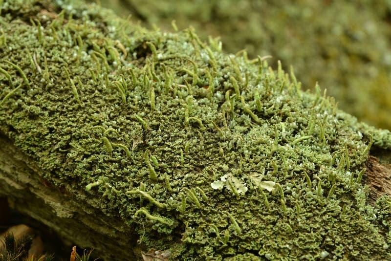Líquene do coniocraea do Cladonia imagens de stock royalty free