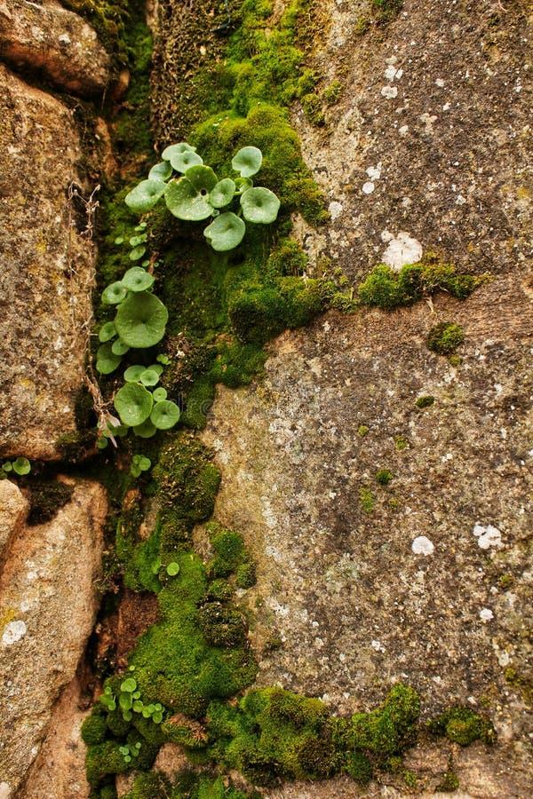 Líquene e musgo na pedra da fonte fotografia de stock