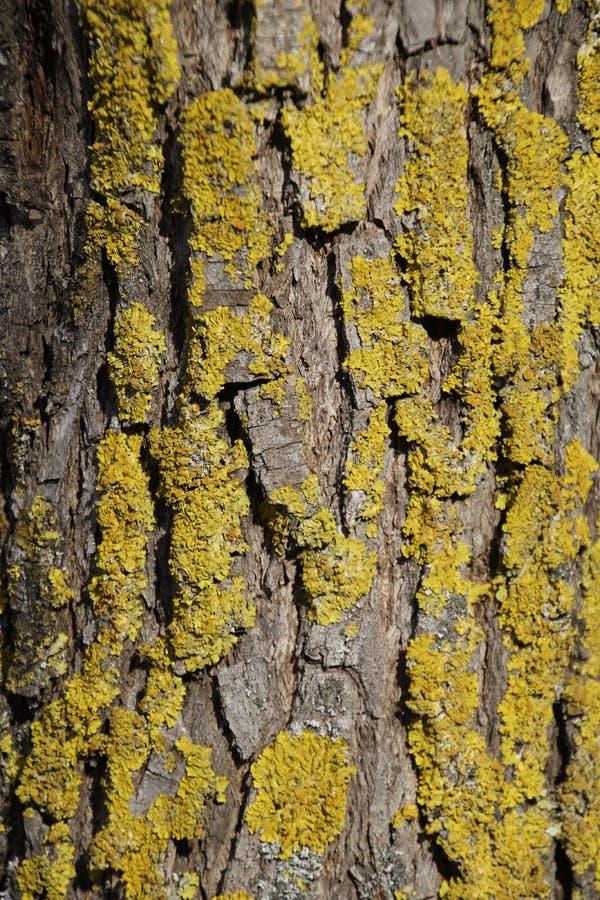 Líquene na casca do salgueiro Tronco de árvore Textura Verde e vívido foto de stock