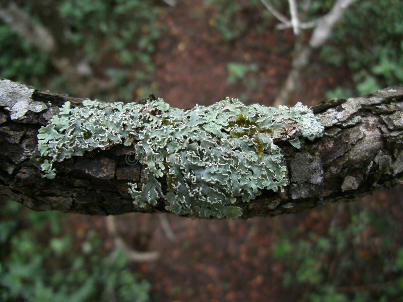 líquene Verde-cinzento no ramo de árvore em Suazilândia fotografia de stock