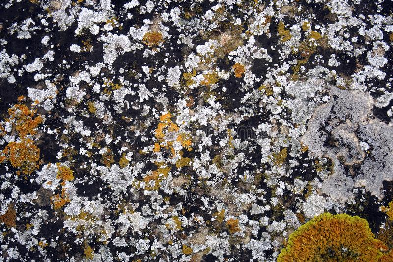 líquenes brancos e amarelos na pedra fotos de stock