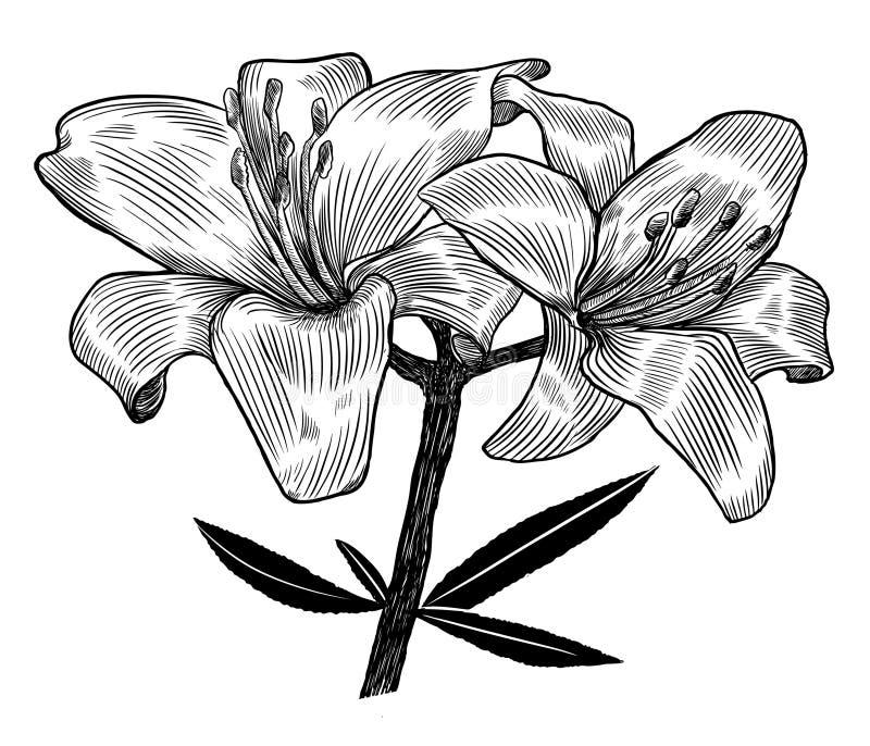 Lírio ilustração stock