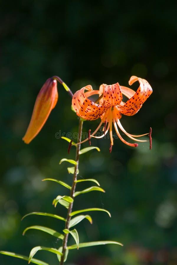 Lírio alaranjado bonito da flor fotografia de stock