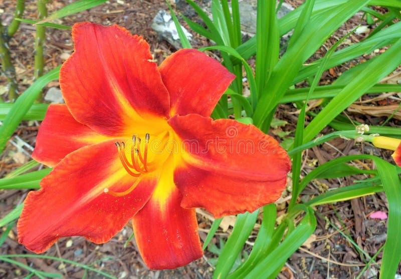 Lírio alaranjado vermelho do Hemerocallis foto de stock royalty free