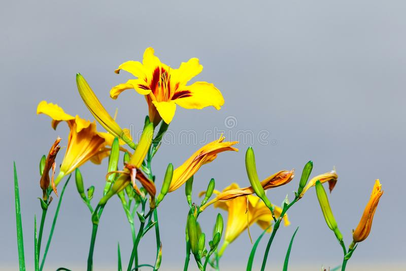 Lírio amarelo da flor, lírio de Páscoa fotos de stock