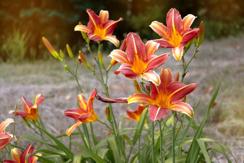 Lírio amarelo da flor em um fundo do parque verde Fim amarelo do lírio acima em um fundo borrado das folhas verdes em um dia enso imagem de stock royalty free