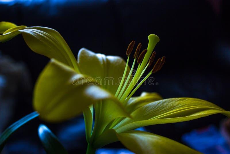 Lírio amarelo e fundo preto fotos de stock