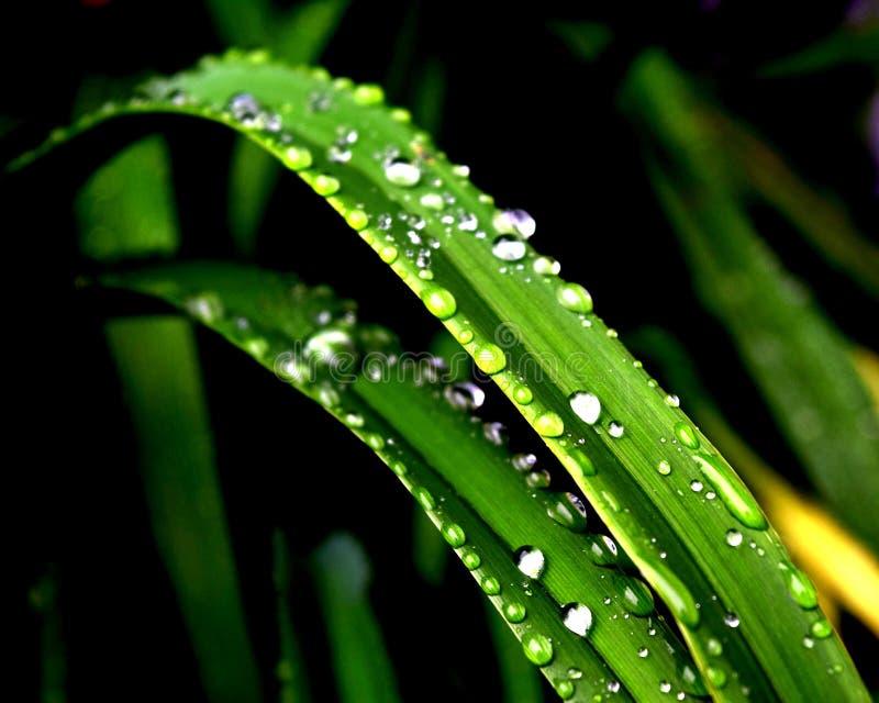 Lírio após a chuva imagem de stock