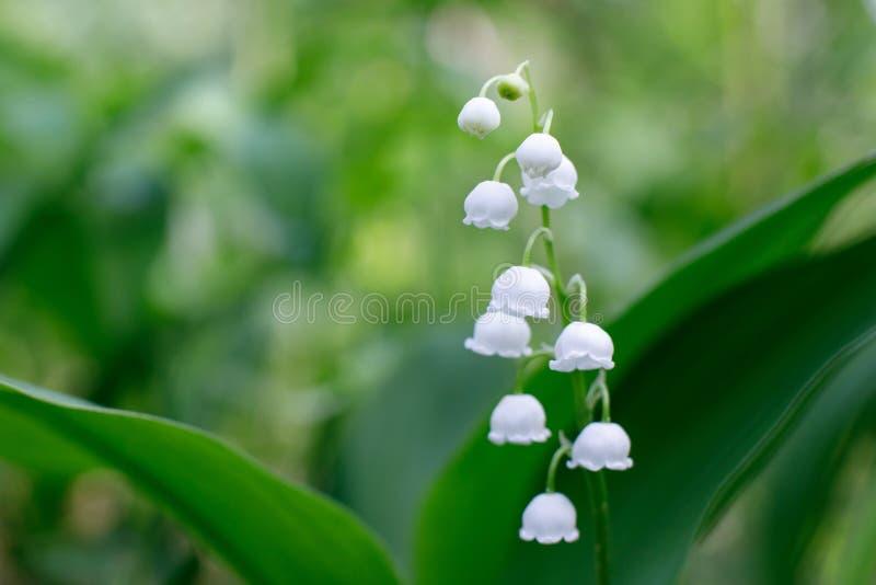 Lírio bonito delicado da flor do vale em um fundo das folhas verdes em um dia de mola ensolarado Foco macio foto de stock royalty free