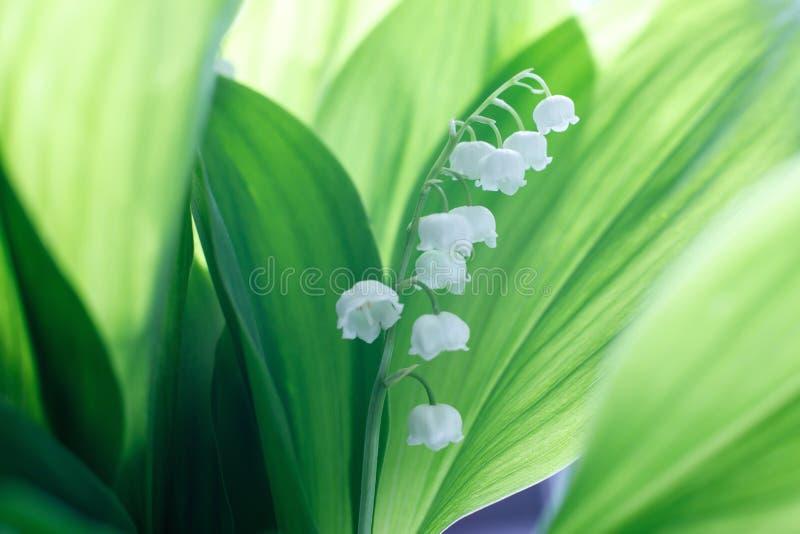 Lírio bonito delicado das flores da flor do vale contra um fundo das folhas verdes em um dia de mola ensolarado Sombras no verde fotografia de stock