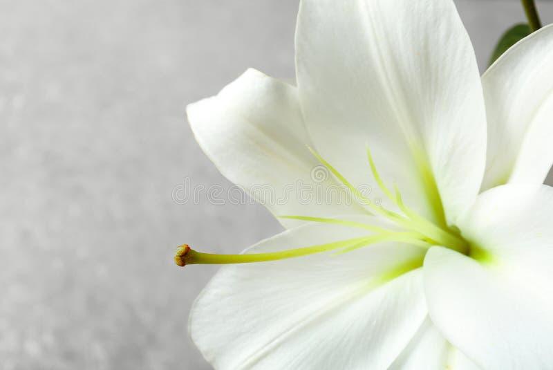 Lírio branco bonito, close up imagem de stock royalty free