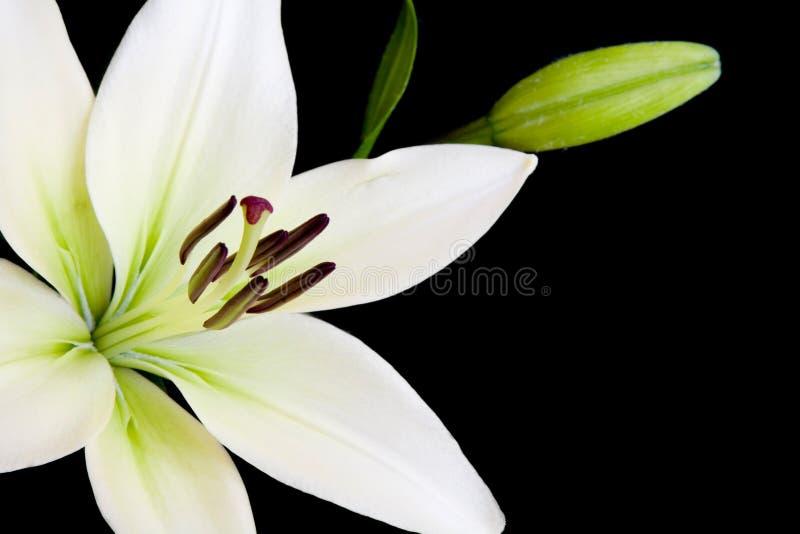 Lírio Branco Com Espaço Da Cópia Fotos de Stock Royalty Free