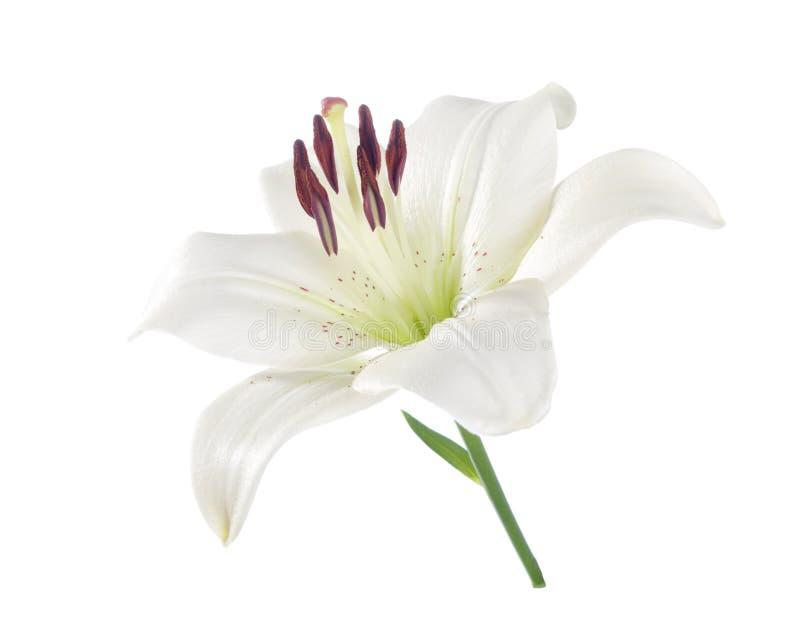 Lírio branco isolado em um branco fotos de stock royalty free