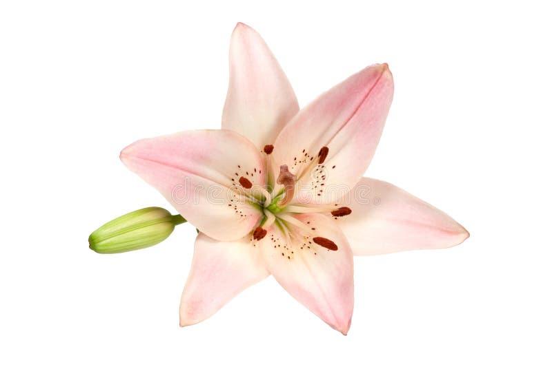 Lírio cor-de-rosa foto de stock