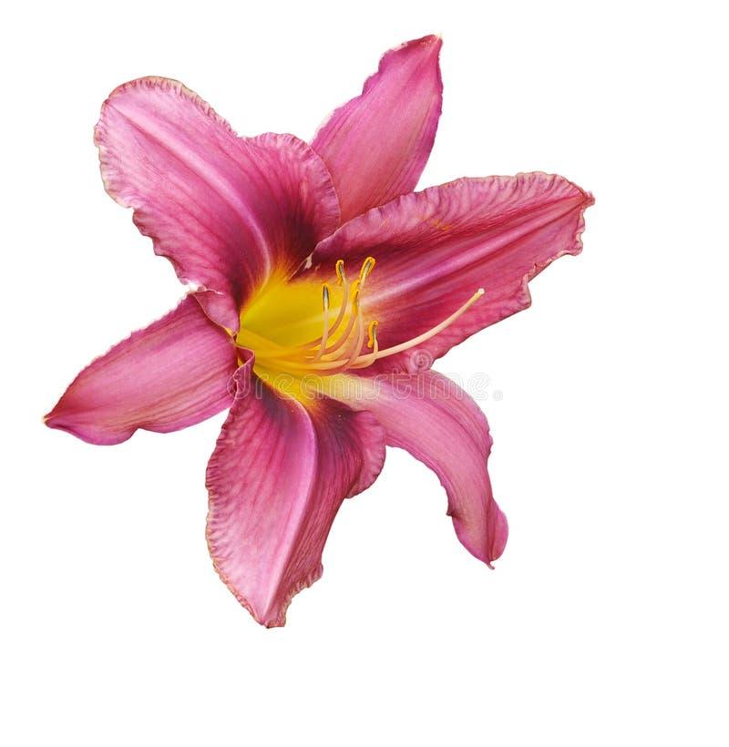 Lírio cor-de-rosa fotografia de stock royalty free