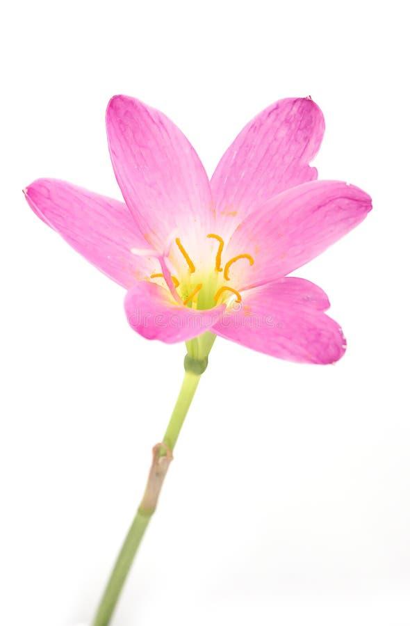 Lírio cor-de-rosa isolado em um fundo branco fotografia de stock
